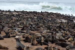 Viaggio in auto in Namibia, Cape Cross Seal Reserve.