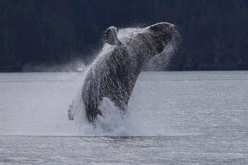 Viaggio in auto in Alaska: una balena nei pressi di Valdez.